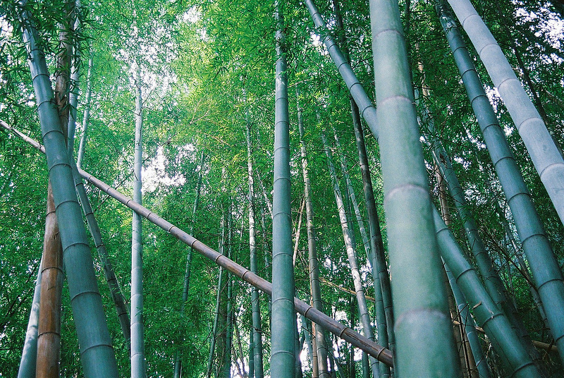 Bamboo par Cherrie Rhodes
