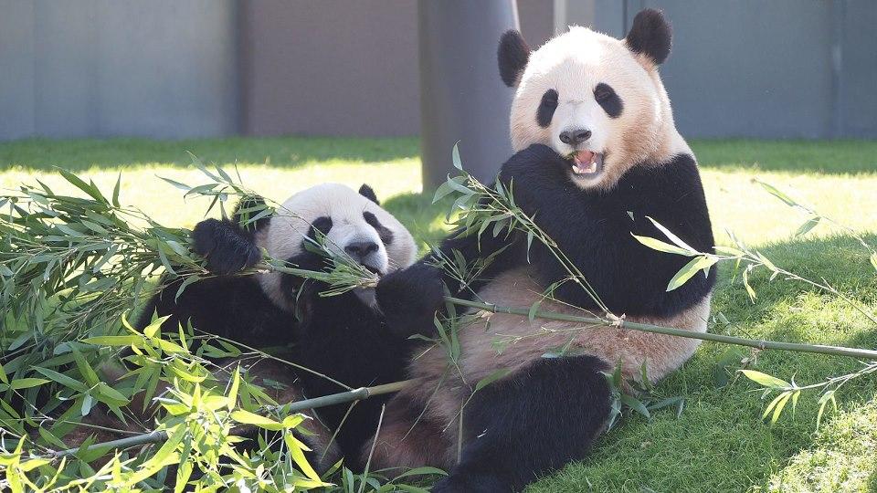 Kai-Hin (海浜) et You-Hin (陽浜), pandas géants à Adventure World, Shirahama.
