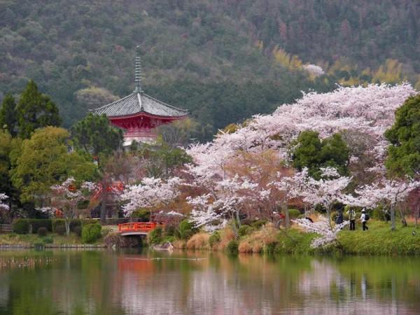 Hanami cerisier le printemps au japon le site du japon - Greffe du cerisier au printemps ...
