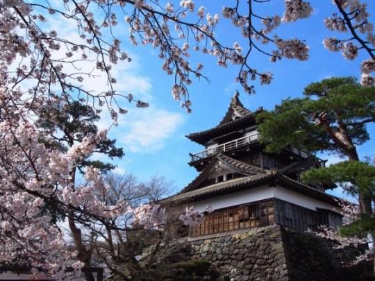 Cerisier en fleur au château de Maruoka, Ise.