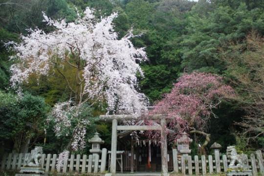 prunier et cerisier en même temps