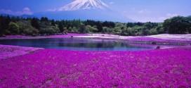 la fleur de shibazakura.