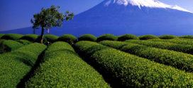 Le thé Japonais.