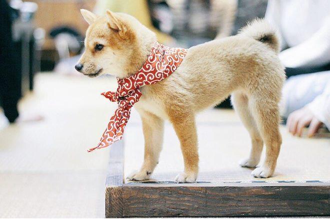 caf chien shiba inu cafe le site du japon. Black Bedroom Furniture Sets. Home Design Ideas