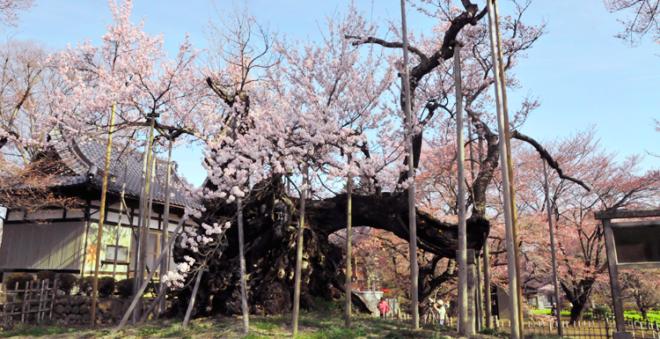 Jindai Sakura